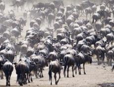Migraciones-animales-que-demuestran-lo-genial-que-es-la-madre-naturaleza-01