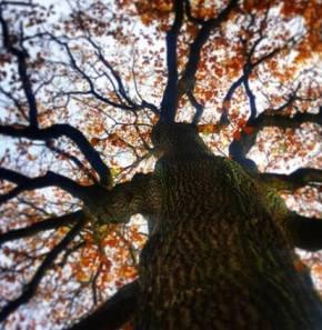 trojmužný dub